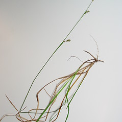 Plant form: Carex vaginata. ~ By Donald Cameron. ~ Copyright © 2019 Donald Cameron. ~ No permission needed for non-commercial uses, with proper credit