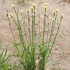 Plant form: Carex vestita. ~ By Arieh Tal. ~ Copyright © 2019 Arieh Tal. ~ www.nttlphoto.com ~ Arieh Tal - www.nttlphoto.com