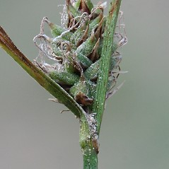 Perigynia: Carex vestita. ~ By Arieh Tal. ~ Copyright © 2017 Arieh Tal. ~ http://botphoto.com/ ~ Arieh Tal - botphoto.com