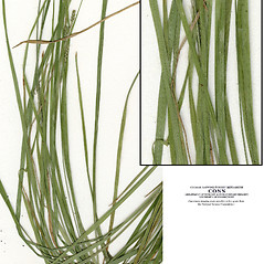 Leaves: Carex virescens. ~ By CONN Herbarium. ~ Copyright © 2018 CONN Herbarium. ~ Requests for image use not currently accepted by copyright holder ~ U. of Connecticut Herbarium - bgbaseserver.eeb.uconn.edu/