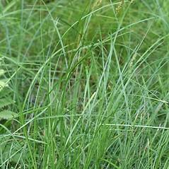 Plant form: Carex vulpinoidea. ~ By Arieh Tal. ~ Copyright © 2017 Arieh Tal. ~ www.nttlphoto.com ~ Arieh Tal - www.nttlphoto.com