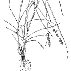 Plant form: Carex vulpinoidea. ~ By Harry Creutzburg. ~ Copyright © 2017 The New York Botanical Garden. ~ http://www.copyright.com ~ Kenneth K. Mackenzie. North American Cariceae, Vols. 1 & 2. Copyright 1940 The New York Botanical Garden