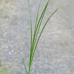 Leaves: Carex vulpinoidea. ~ By Arieh Tal. ~ Copyright © 2020 Arieh Tal. ~ http://botphoto.com/ ~ Arieh Tal - botphoto.com