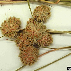Flowers and fruits: Cyperus acuminatus. ~ By Charles Bryson. ~ Copyright © 2018 CC BY-NC 3.0. ~  ~ Bugwood - www.bugwood.org/