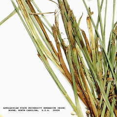 Stems and sheaths: Cyperus bipartitus. ~ By Derick B. Poindexter. ~ Copyright © 2019 Derick B. Poindexter. ~ dpoindex[at]live.unc.edu ~ Vascular Flora of Alleghany County, NC - vascularflora.appstate.edu/
