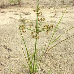 Plant form: Cyperus dentatus. ~ By Glen Mittelhauser. ~ Copyright © 2018 Glen Mittelhauser. ~ www.mainenaturalhistory.org