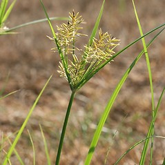 Inflorescences: Cyperus esculentus. ~ By Arieh Tal. ~ Copyright © 2017 Arieh Tal. ~ http://botphoto.com/ ~ Arieh Tal - botphoto.com