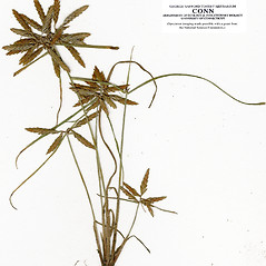 Leaves and auricles: Cyperus filicinus. ~ By CONN Herbarium. ~ Copyright © 2019 CONN Herbarium. ~ Requests for image use not currently accepted by copyright holder ~ U. of Connecticut Herbarium - bgbaseserver.eeb.uconn.edu/