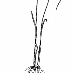 Stems and sheaths: Cyperus flavescens. ~ By Southern Illinois University Press. ~ Copyright © 2018 Southern Illinois University Press. ~ Requests for image use not currently accepted by copyright holder ~ Southern Illinois U. Press