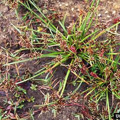 Plant form: Cyperus fuscus. ~ By Charles Bryson. ~ Copyright © 2017 CC BY-NC 3.0. ~  ~ Bugwood - www.bugwood.org/