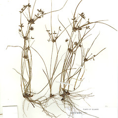 Plant form: Cyperus grayi. ~ By CONN Herbarium. ~ Copyright © 2018 CONN Herbarium. ~ Requests for image use not currently accepted by copyright holder ~ U. of Connecticut Herbarium - bgbaseserver.eeb.uconn.edu/