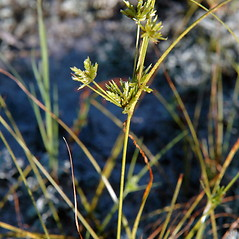 Inflorescences: Cyperus grayi. ~ By Ben Kimball. ~ Copyright © 2018 Ben Kimball. ~ alpinefin[at]comcast.net