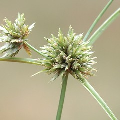Inflorescences: Cyperus lupulinus. ~ By Arieh Tal. ~ Copyright © 2017 Arieh Tal. ~ http://botphoto.com/ ~ Arieh Tal - botphoto.com