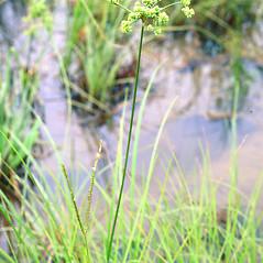 Plant form: Cyperus pseudovegetus. ~ By Charles Bryson. ~ Copyright © 2018 CC BY-NC 3.0. ~  ~ Bugwood - www.bugwood.org/