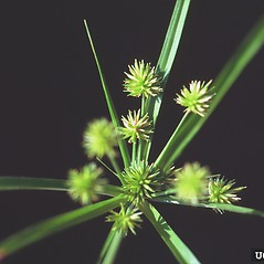 Inflorescences: Cyperus retrorsus. ~ By Ted Bodner. ~ Copyright © 2017 CC BY-NC 3.0. ~  ~ Bugwood - www.bugwood.org/