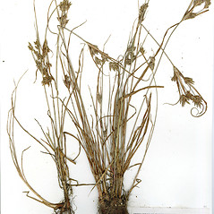 Plant form: Cyperus schweinitzii. ~ By CONN Herbarium. ~ Copyright © 2017 CONN Herbarium. ~ Requests for image use not currently accepted by copyright holder ~ U. of Connecticut Herbarium - bgbaseserver.eeb.uconn.edu/