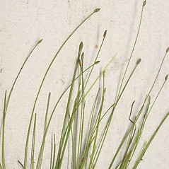 Inflorescences: Eleocharis acicularis. ~ By Andrew Nelson. ~ Copyright © 2017 Andrew Nelson. ~ andrew.nelson[at]oswego.edu   ~ Flora of Rice Creek Field Station - www.oswego.edu/academics/opportunities/rice_creek_field_station