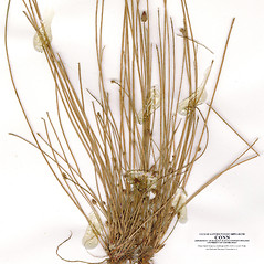 Leaves and auricles: Eleocharis diandra. ~ By CONN Herbarium. ~ Copyright © 2018 CONN Herbarium. ~ Requests for image use not currently accepted by copyright holder ~ U. of Connecticut Herbarium - bgbaseserver.eeb.uconn.edu/
