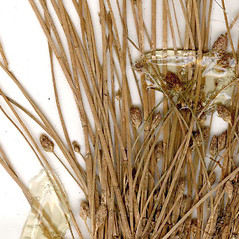 Stems and sheaths: Eleocharis diandra. ~ By CONN Herbarium. ~ Copyright © 2018 CONN Herbarium. ~ Requests for image use not currently accepted by copyright holder ~ U. of Connecticut Herbarium - bgbaseserver.eeb.uconn.edu/