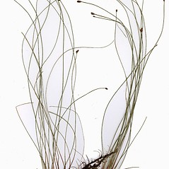 Plant form: Eleocharis elliptica. ~ By CONN Herbarium. ~ Copyright © 2019 CONN Herbarium. ~ Requests for image use not currently accepted by copyright holder ~ U. of Connecticut Herbarium - bgbaseserver.eeb.uconn.edu/