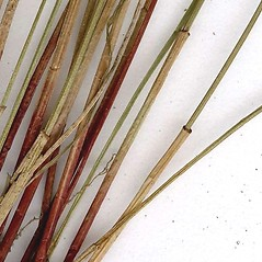 Stems and sheaths: Eleocharis elliptica. ~ By CONN Herbarium. ~ Copyright © 2019 CONN Herbarium. ~ Requests for image use not currently accepted by copyright holder ~ U. of Connecticut Herbarium - bgbaseserver.eeb.uconn.edu/