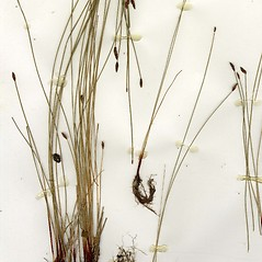 Plant form: Eleocharis erythropoda. ~ By CONN Herbarium. ~ Copyright © 2019 CONN Herbarium. ~ Requests for image use not currently accepted by copyright holder ~ U. of Connecticut Herbarium - bgbaseserver.eeb.uconn.edu/