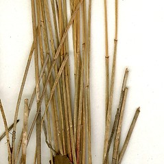 Stems and sheaths: Eleocharis erythropoda. ~ By CONN Herbarium. ~ Copyright © 2017 CONN Herbarium. ~ Requests for image use not currently accepted by copyright holder ~ U. of Connecticut Herbarium - bgbaseserver.eeb.uconn.edu/