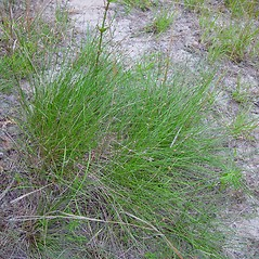 Plant form: Eleocharis melanocarpa. ~ By Arthur Haines. ~ Copyright © 2020. ~ arthurhaines[at]wildblue.net