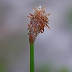 Inflorescences: Eleocharis melanocarpa. ~ By Arthur Haines. ~ Copyright © 2020. ~ arthurhaines[at]wildblue.net