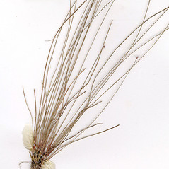 Leaves and auricles: Eleocharis microcarpa. ~ By CONN Herbarium. ~ Copyright © 2018 CONN Herbarium. ~ Requests for image use not currently accepted by copyright holder ~ U. of Connecticut Herbarium - bgbaseserver.eeb.uconn.edu/