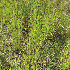 Plant form: Eleocharis obtusa. ~ By Donald Cameron. ~ Copyright © 2017 Donald Cameron. ~ No permission needed for non-commercial uses, with proper credit