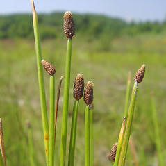 Inflorescences: Eleocharis obtusa. ~ By Donald Cameron. ~ Copyright © 2019 Donald Cameron. ~ No permission needed for non-commercial uses, with proper credit
