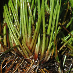 Leaves and auricles: Eleocharis obtusa. ~ By Ben Legler. ~ Copyright © 2017 Ben Legler. ~ mountainmarmot[at]hotmail.com ~ U. of Washington - WTU - Herbarium - biology.burke.washington.edu/herbarium/imagecollection.php