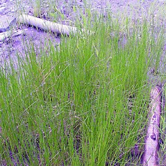 Plant form: Eleocharis palustris. ~ By Arthur Haines. ~ Copyright © 2020. ~ arthurhaines[at]wildblue.net
