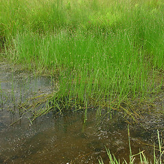 Plant form: Eleocharis palustris. ~ By Glen Mittelhauser. ~ Copyright © 2020 Glen Mittelhauser. ~ www.mainenaturalhistory.org