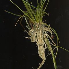 Plant form: Eleocharis parvula. ~ By Glen Mittelhauser. ~ Copyright © 2017 Glen Mittelhauser. ~ www.mainenaturalhistory.org