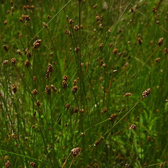 Inflorescences: Eleocharis parvula. ~ By Glen Mittelhauser. ~ Copyright © 2018 Glen Mittelhauser. ~ www.mainenaturalhistory.org
