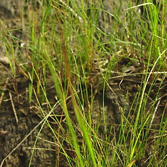 Plant form: Eleocharis quinqueflora. ~ By Glen Mittelhauser. ~ Copyright © 2018 Glen Mittelhauser. ~ www.mainenaturalhistory.org