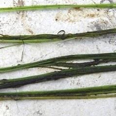 Stems and sheaths: Eleocharis robbinsii. ~ By Hyun Jung Cho. ~ Copyright © 2018 Hyun Jung Cho. ~ None needed ~ Mississippi Aquatic Plants - jcho.masgc.org