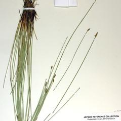 Leaves and auricles: Eleocharis rostellata. ~ By Steve Matson. ~ Copyright © 2018 Steve Matson. ~ No permission needed for non-commercial, educational uses, with proper credit ~ CalPhotos - calphotos.berkeley.edu/flora/