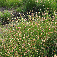 Plant form: Eleocharis tenuis. ~ By Marilee Lovit. ~ Copyright © 2018 Marilee Lovit. ~ lovitm[at]gmail.com