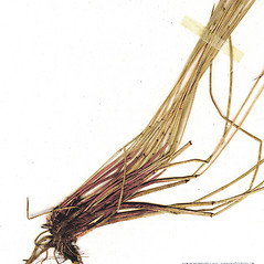Leaves and auricles: Eleocharis tenuis. ~ By CONN Herbarium. ~ Copyright © 2017 CONN Herbarium. ~ Requests for image use not currently accepted by copyright holder ~ U. of Connecticut Herbarium - bgbaseserver.eeb.uconn.edu/