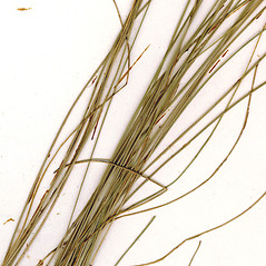 Stems and sheaths: Eleocharis tenuis. ~ By CONN Herbarium. ~ Copyright © 2017 CONN Herbarium. ~ Requests for image use not currently accepted by copyright holder ~ U. of Connecticut Herbarium - bgbaseserver.eeb.uconn.edu/