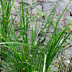 Plant form: Eleocharis tuberculosa. ~ By Hyun Jung Cho. ~ Copyright © 2019 Hyun Jung Cho. ~ None needed ~ Mississippi Aquatic Plants - jcho.masgc.org