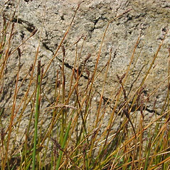 Plant form: Eleocharis uniglumis. ~ By Glen Mittelhauser. ~ Copyright © 2020 Glen Mittelhauser. ~ www.mainenaturalhistory.org
