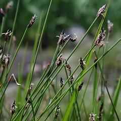 Inflorescences: Eleocharis uniglumis. ~ By Marilee Lovit. ~ Copyright © 2019 Marilee Lovit. ~ lovitm[at]gmail.com