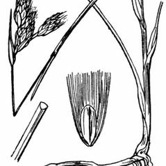 Stems and sheaths: Eriophorum gracile. ~ By Hippolyte Coste. ~ Copyright © 2020 Public Domian. ~ None needed ~ Flore descriptive et illustr_e de la France, de la Corse et des contr_es limitrophes