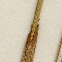 Stems and sheaths: Eriophorum vaginatum. ~ By CONN Herbarium. ~ Copyright © 2020 CONN Herbarium. ~ Requests for image use not currently accepted by copyright holder ~ U. of Connecticut Herbarium - bgbaseserver.eeb.uconn.edu/