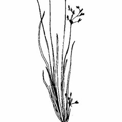 Leaves and auricles: Fimbristylis autumnalis. ~ By Southern Illinois University Press. ~ Copyright © 2017 Southern Illinois University Press. ~ Requests for image use not currently accepted by copyright holder ~ Southern Illinois U. Press