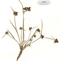Plant form: Fuirena pumila. ~ By CONN Herbarium. ~ Copyright © 2019 CONN Herbarium. ~ Requests for image use not currently accepted by copyright holder ~ U. of Connecticut Herbarium - bgbaseserver.eeb.uconn.edu/